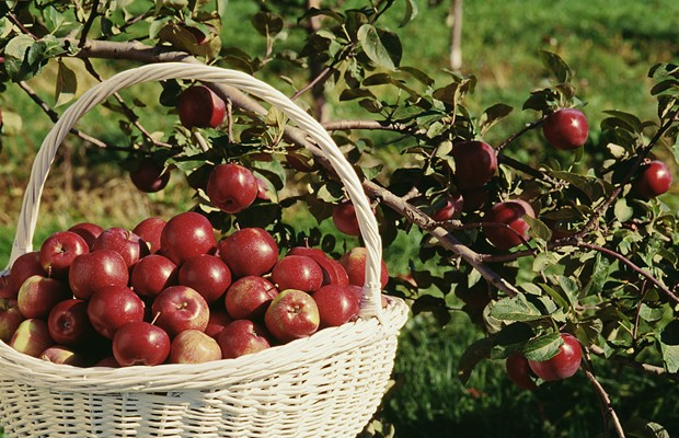 Identify and Enjoy Apples from Maine's Orchards